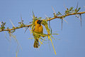Black masked weaver building a nest southern Royalty Free Stock Photos