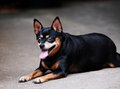 Black miniature pinscher dog happy fat lovely cute smiling sitting on the concrete garage floor making funny face on a sunny day Stock Photography