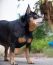 Black miniature pinscher dog happy fat lovely cute smiling standing on the concrete garage floor making funny face on a sunny day Stock Images
