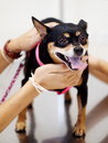 Black miniature pinscher dog happy fat lovely cute smiling standing on a stainless steel table in vet clinic with veterinarian s Stock Image