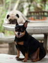 Black miniature pinscher dog sitting on a bench looking at camera with a white pug laying on a table blur as picture background Stock Photos