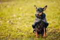 Black miniature pinscher pincher young in warm clothes Royalty Free Stock Photos