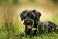 Black miniature schnauzer puppy sitting outdoors Royalty Free Stock Photo