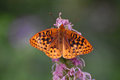 Black mottled orange butterfly winged gathers nectar from a purple flower Stock Images