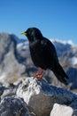 Black mountain bird Royalty Free Stock Photo