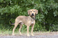 Black Mouth Cur Hound Beagle mixed breed dog