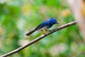 Black naped monarch male is residental bird of thailand Royalty Free Stock Photography
