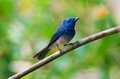 Black naped monarch male is residental bird of thailand Royalty Free Stock Photos