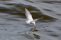 Black-naped tern Stock Photo