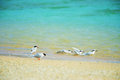 Black naped tern and roseate tern sterna spp this image was taken in okinawa prefecture japan Royalty Free Stock Photo