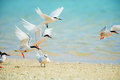 Black naped tern and roseate tern sterna spp this image was taken in okinawa prefecture japan Royalty Free Stock Images