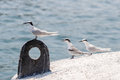 Black-naped Tern`s Adult and Juvenile perching on buoy Royalty Free Stock Photo