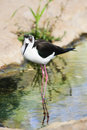 Black-necked stilt Stock Photo