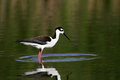 Black necked stilt a bird wading in the water Royalty Free Stock Image