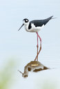 Black-necked Stilt - Everglades National Park Royalty Free Stock Photos