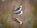 Black necked stilt shore bird in the galapagos ecuador Stock Photography
