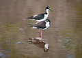 Black necked stilt shore bird in the galapagos ecuador Stock Photos