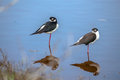 Black necked stilt shore bird in the galapagos ecuador Royalty Free Stock Images