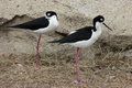 Black Necked Stilts Royalty Free Stock Photography