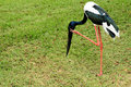 Black-necked Stork Stock Image