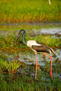Black-necked Stork Stock Photography