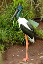 Black Necked Stork - Jabiru Royalty Free Stock Photo