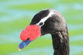 Black-necked swan Royalty Free Stock Images