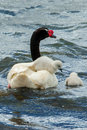 Black necked swan adult with cygnet on its back swimming on lake Stock Image