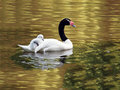 Black necked swan with chick in gold colored water Royalty Free Stock Images