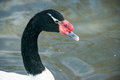 Black necked swan a close up of a cygnus melanocoryphus in a lake Stock Photos