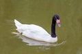 Black-necked swan swimming on lake Royalty Free Stock Photo