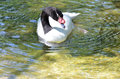 Black necked swan a swims in the water Stock Images
