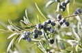 Black olives on branch of olive tree full grown sunny day Royalty Free Stock Image