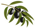 Black olives on branch vector illustration Stock Photo