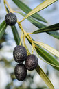 Black olives on tree Royalty Free Stock Images