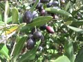 Black olives in a tree at a croatian breeder an olive nursery the countryside of croatia Stock Photography
