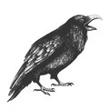 Black ominous crow crows painted on a white background Stock Photography