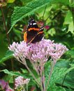 Black orange butterfly on garden flower and resting Royalty Free Stock Photography
