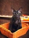 Black Oriental Shorthair Cat Portrait Royalty Free Stock Photo