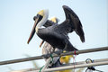 Black Pelican Balancing On Railing Royalty Free Stock Photo
