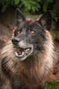 Black Phase Grey Wolf Canis lupus Looks Up