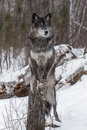 Black Phase Grey Wolf Canis lupus Paws On Stump