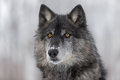 Black Phase Grey Wolf Canis lupus Portrait