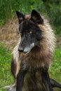 Black Phase Grey Wolf (Canis lupus) Sits Looking Left Royalty Free Stock Photo