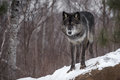 Black Phase Grey Wolf Canis lupus Stares Out from Atop Rock