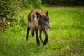 Black Phase Grey Wolf Canis lupus Trots Right