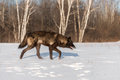 Black Phase Grey Wolf Canis lupus Walks Right Across Snowy Fie