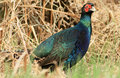 Black Pheasant Stock Images