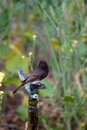 Black phoebe sayornis nigricans sits on a leaky water hydrant in bonelli regional park near los angeles california Stock Images