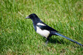 Black pied magpie Stock Photos